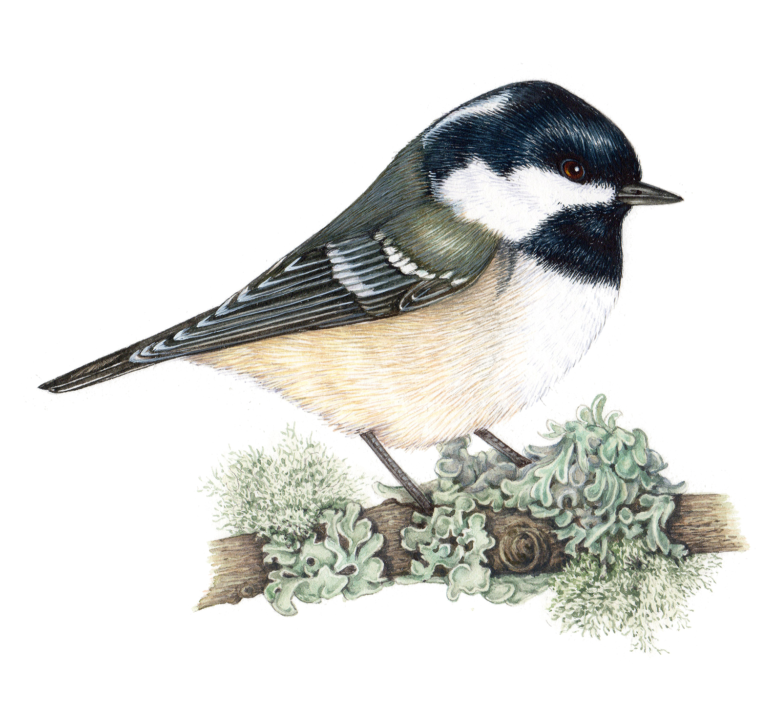 Coal tit Periparus ater natural history illustration by Lizzie Harper