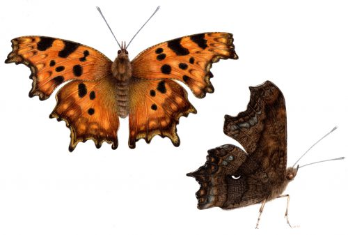 Comma butterfly Polygonia c-album natural history illustration by Lizzie Harper
