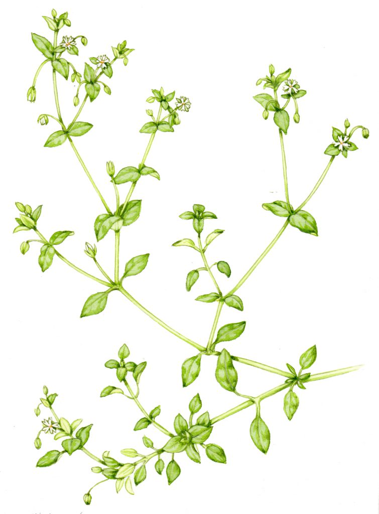 Common Chickweed Stellaria media natural history illustration by Lizzie Harper