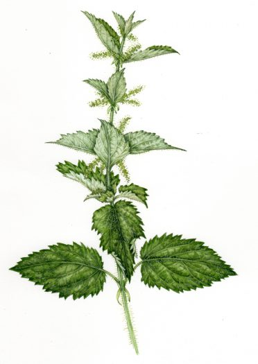 Common Nettle Urtica dioica natural history illustration by Lizzie Harper
