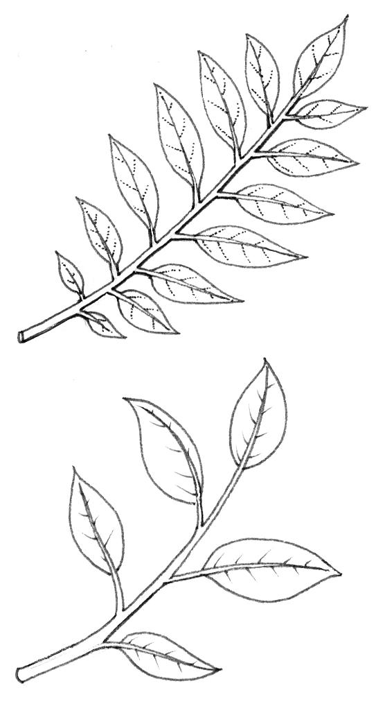 Alternate Leaves Diagram