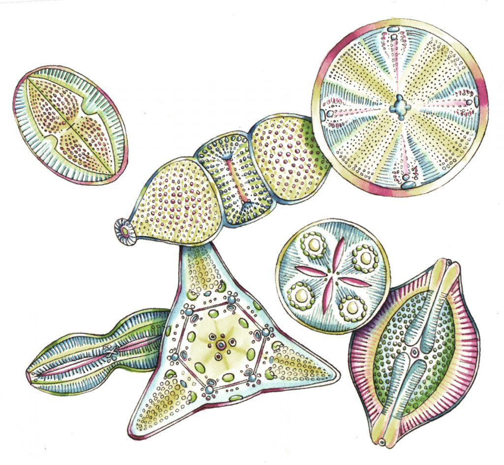 Diatoms natural history illustration by Lizzie Harper