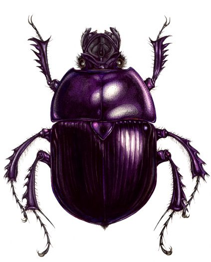 Dung beetle Geotrupes stercorarius natural history illustration by Lizzie Harper