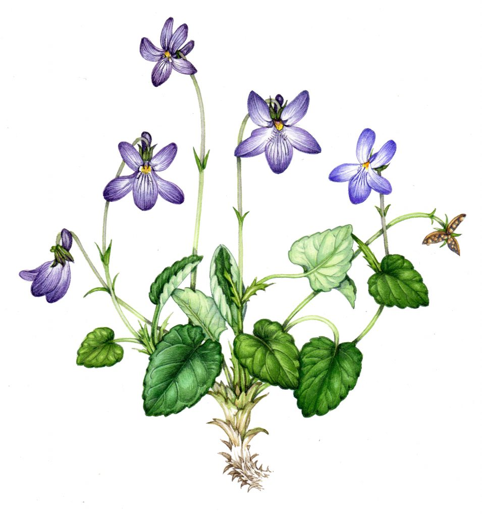 Early dog violet Viola reichenbachiana natural history illustration by Lizzie Harper