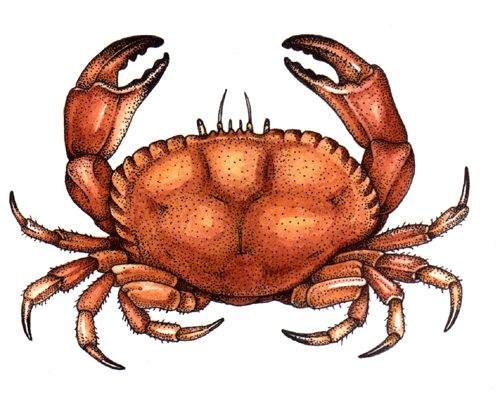 Edible crab Cancer pagurus natural history illustration by Lizzie Harper