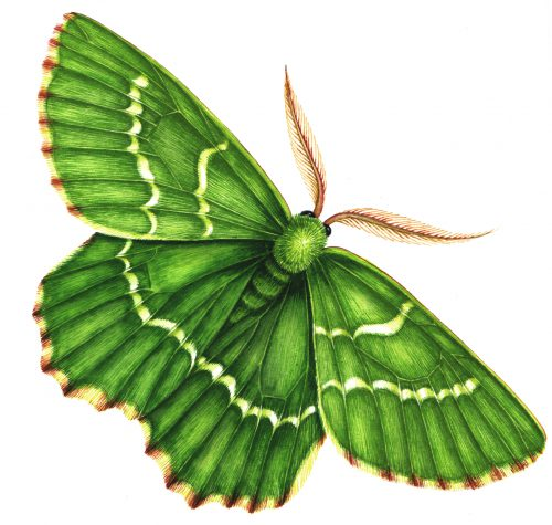 Large Emerald moth Geometra papilionaria natural history illustration by Lizzie Harper