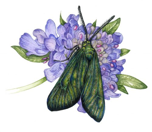 Forester moth Adscita statices natural history illustration by Lizzie Harper