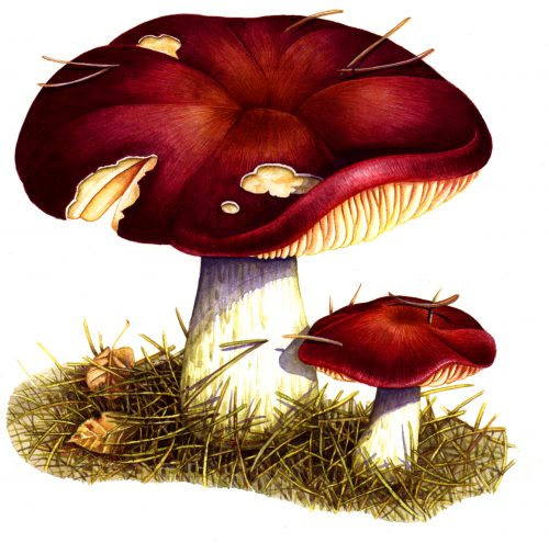 Russula natural history illustration by Lizzie Harper