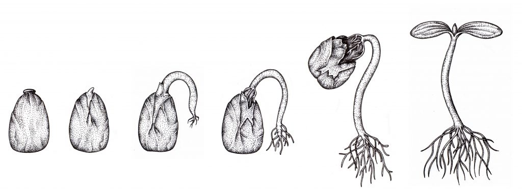 Diagram Showing The Stages Of Germination Manual Guide