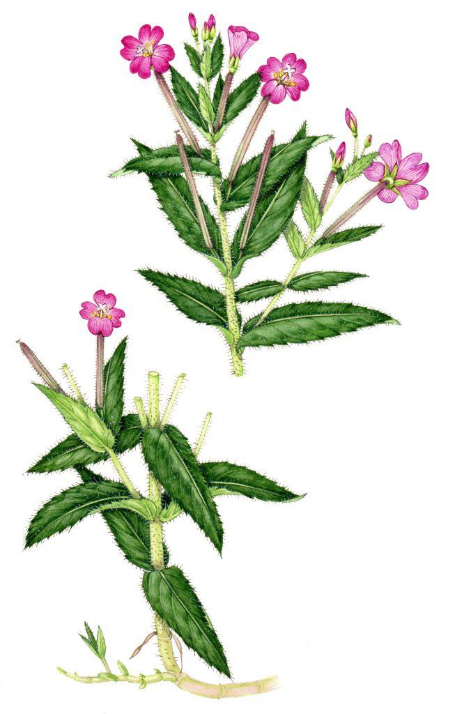 Greater willowherb Epibolium hirsutum natural history illustration by Lizzie Harper