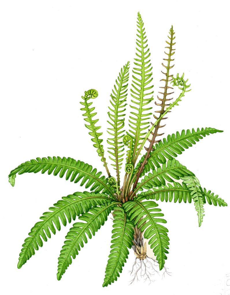 Hard fern Blechnum spicant natural history illustration by Lizzie Harper