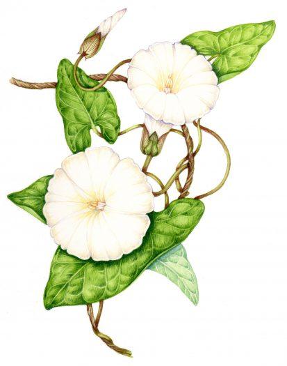 Hedge bindweed Calystegia sepium natural history illustration by Lizzie Harper
