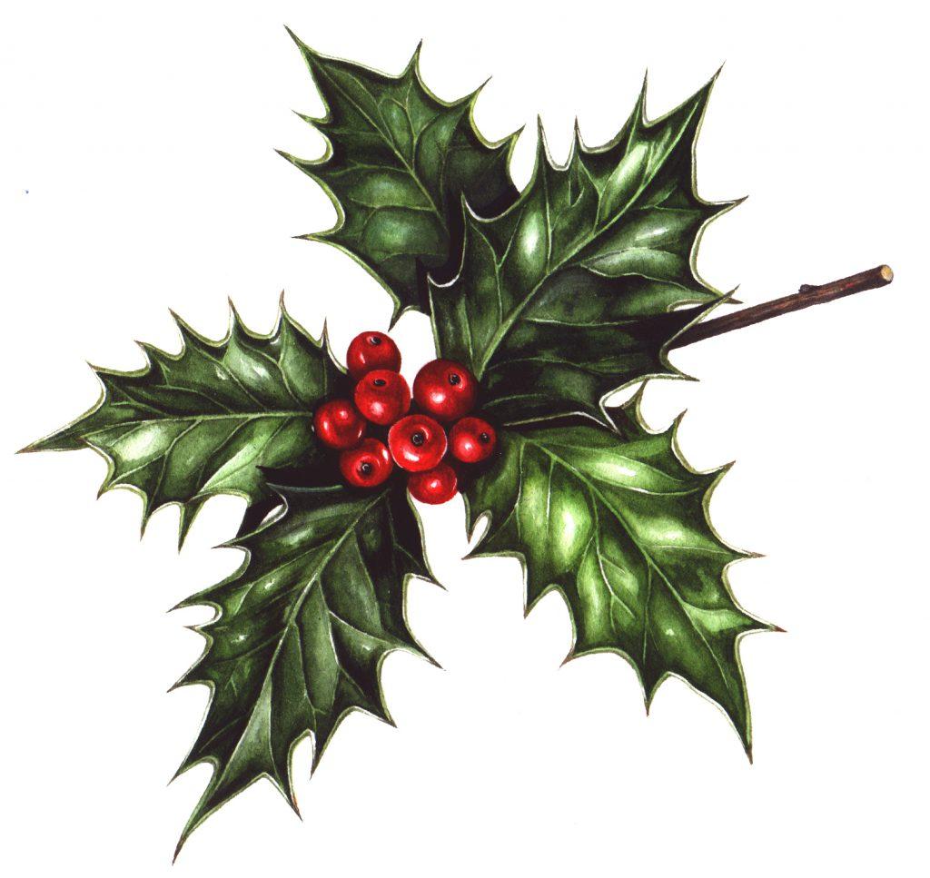 Holly Ilex aquifolium natural history illustration by Lizzie Harper