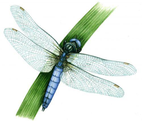 Keeled skimmer Orthetrum coerulescens natural history illustration by Lizzie Harper