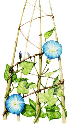 Morning glory Ipomoea purpurea natural history illustration by Lizzie Harper