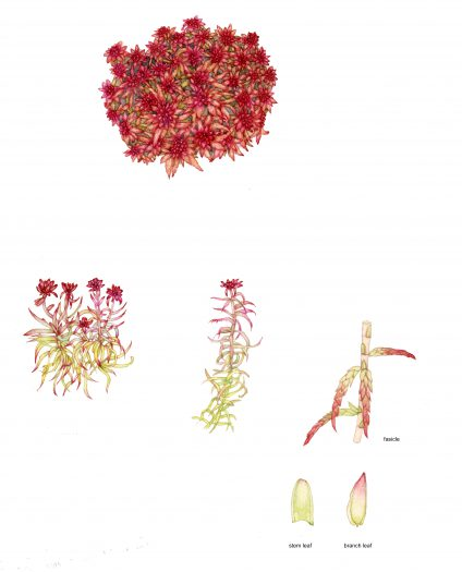 Red bog moss Sphagnum capillifolium ssp rubellum natural history illustration by Lizzie Harper