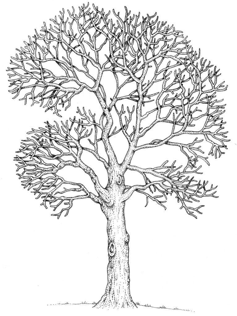 Oak Quercus robur natural history illustration by Lizzie Harper