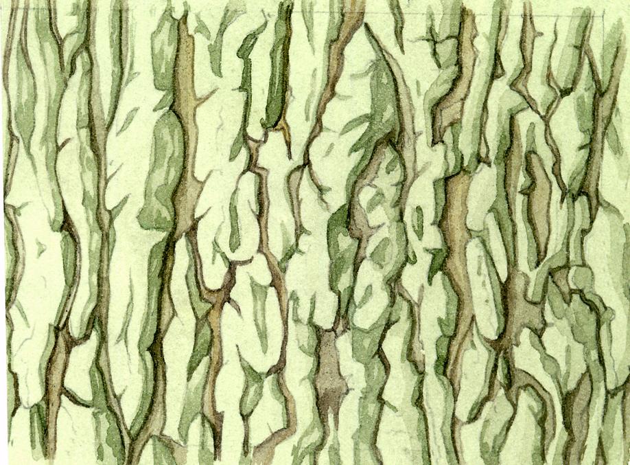 Oak bark Quercus robur natural history illustration by Lizzie Harper