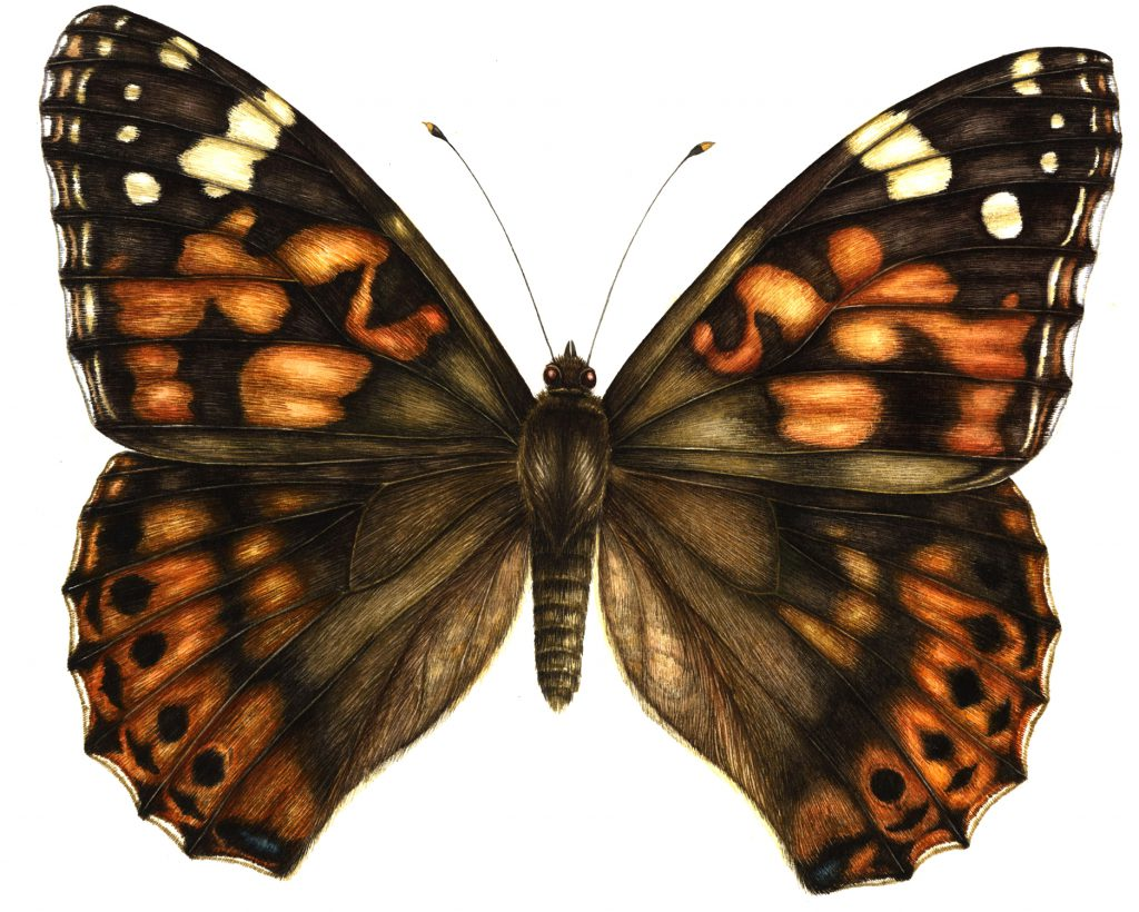 Painted lady Vanessa cardui butterfly natural history illustration by Lizzie Harper