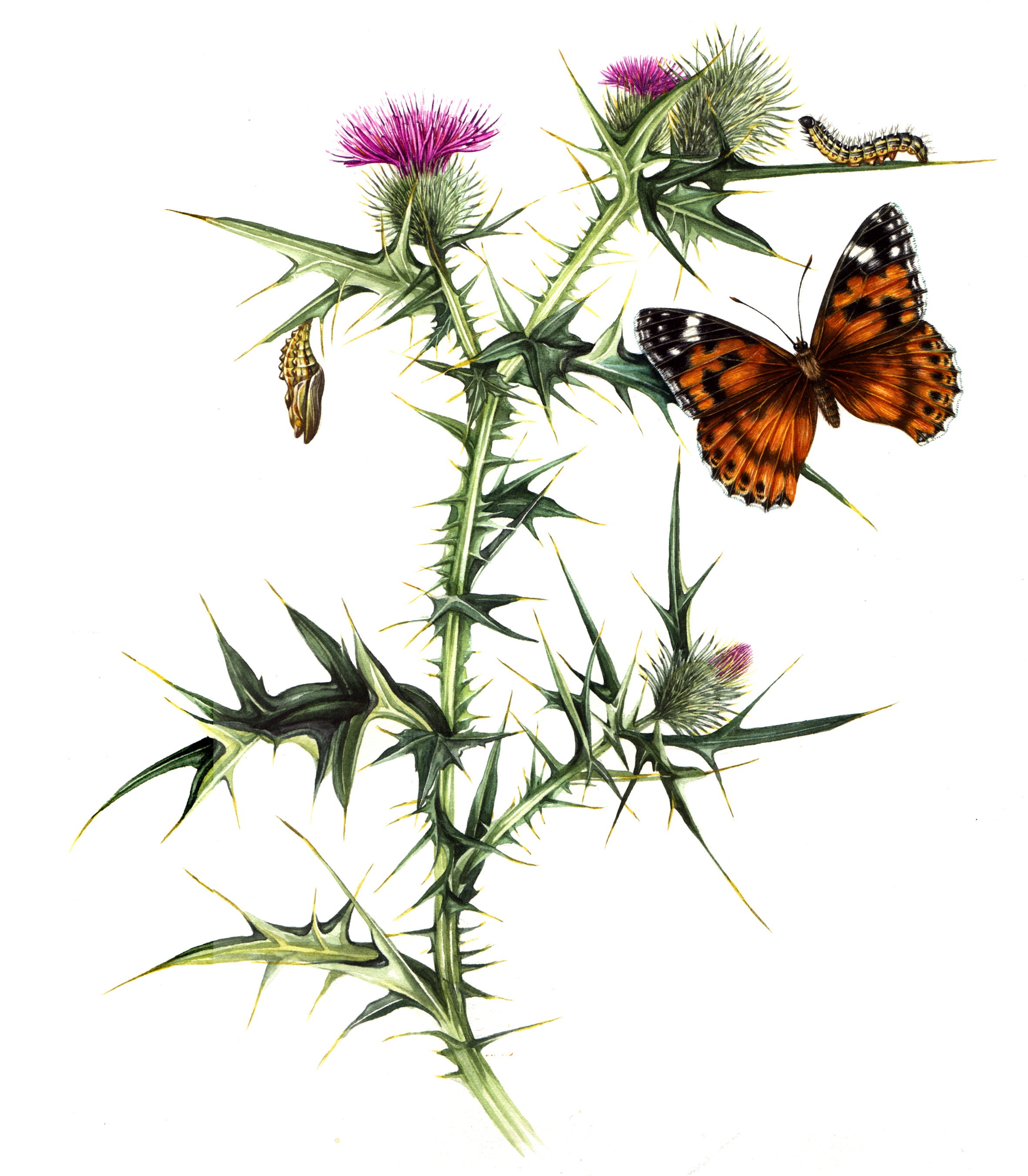 Painted Lady Vanessa Cardui Butterfly With Host Plant Thistle And Life Cycle Stages Lizzie Harper