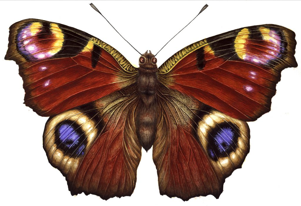 Peacock butterfly Aglais io natural history illustration by Lizzie Harper