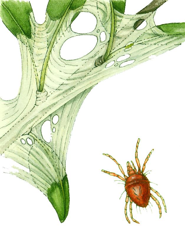 Red spider mite Tetranychus urticae natural history illustration by Lizzie Harper