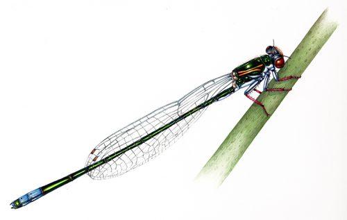Sarep sprite Pseudagrion sarepi natural history illustration by Lizzie Harper