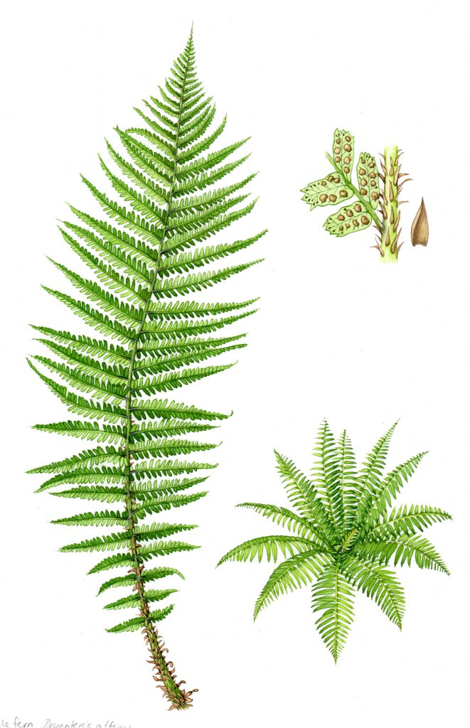 Scaly male fern Dryopteris affinis natural history illustration by Lizzie Harper