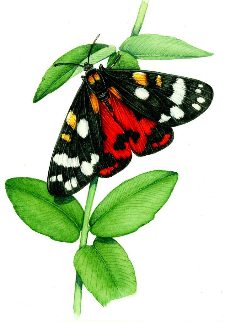 Scarlet tiger moth Callimorpha dominula natural history illustration by Lizzie Harper
