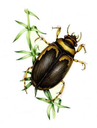 Screech beetle Hygrobia tarda natural history illustration by Lizzie Harper