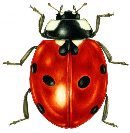 Ladybird Coccinella septempuctata natural history illustration by Lizzie Harper