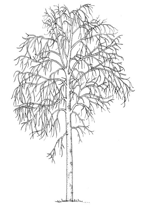 Silver birch Betula pendula natural history illustration by Lizzie Harper