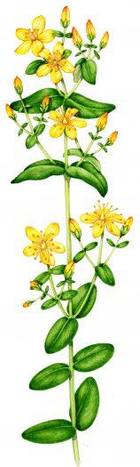 Slender St Johns Wort Hypericum pulchrum natural history illustration by Lizzie Harper