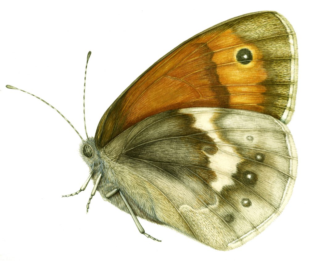 Small Heath Butterfly Coenonympha pamphilus natural history illustration by Lizzie Harper