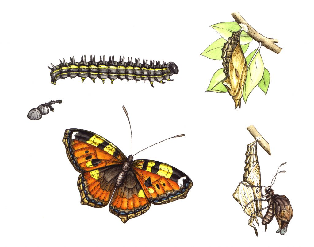 Small tortoiseshell butterfly Aglais urticae natural history illustration by Lizzie Harper
