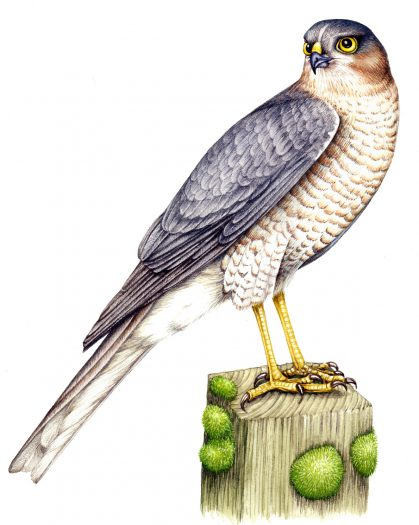 Sparrowhawk Accipiter nisus natural history illustration by Lizzie Harper