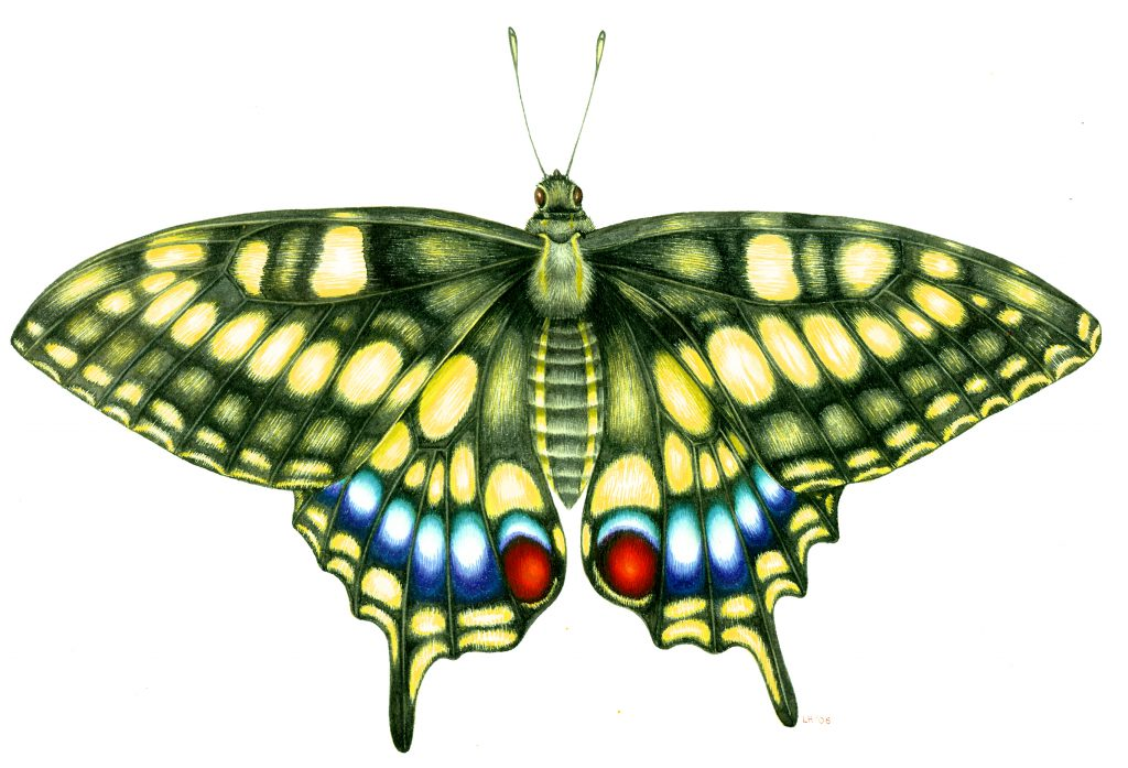 Swallowtail butterfly Papilio machaon natural history illustration by Lizzie Harper