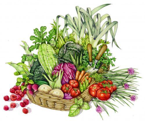 Vegetable trug natural history illustration by Lizzie Harper