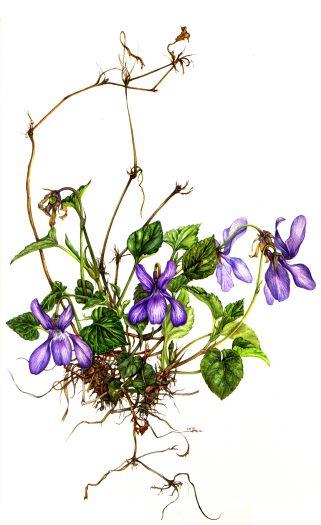 Dog Violet Viola riviniana natural history illustration by Lizzie Harper