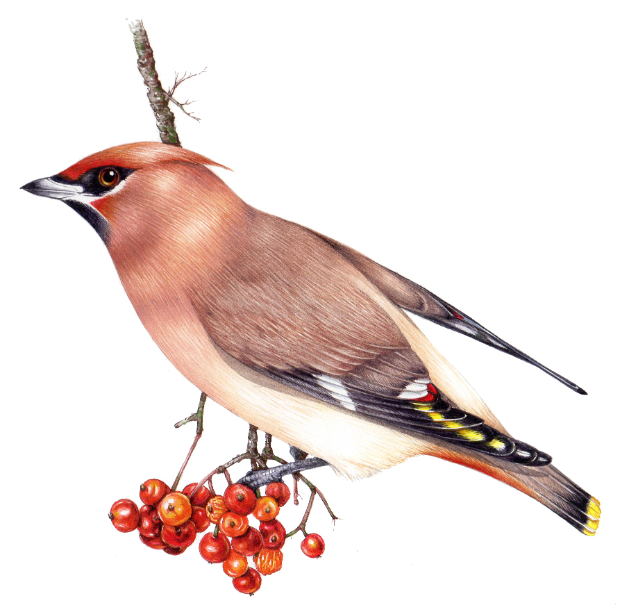 Bohemian Waxwing Bombycilla garrulus natural history illustration by Lizzie Harper