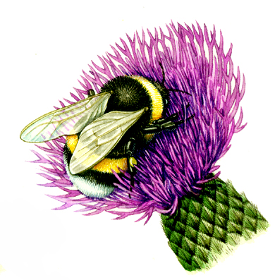 White tailed bumble bee Bombus lucorum natural history illustration by Lizzie Harper