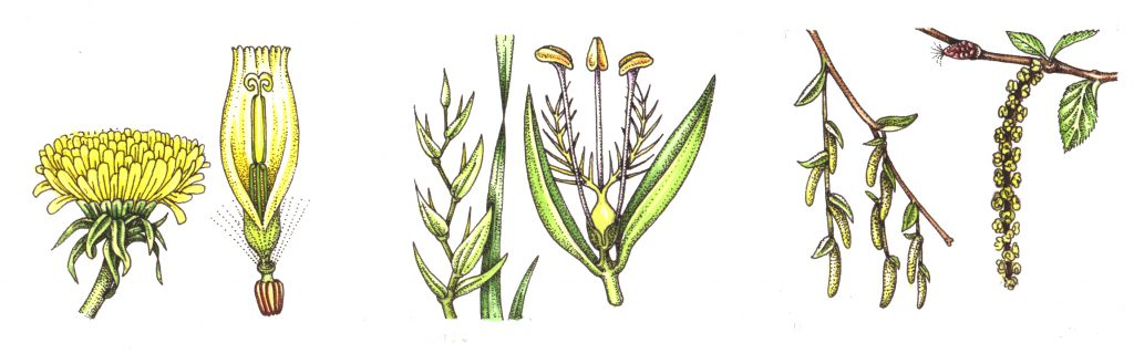 Wind pollinators natural history illustration by Lizzie Harper