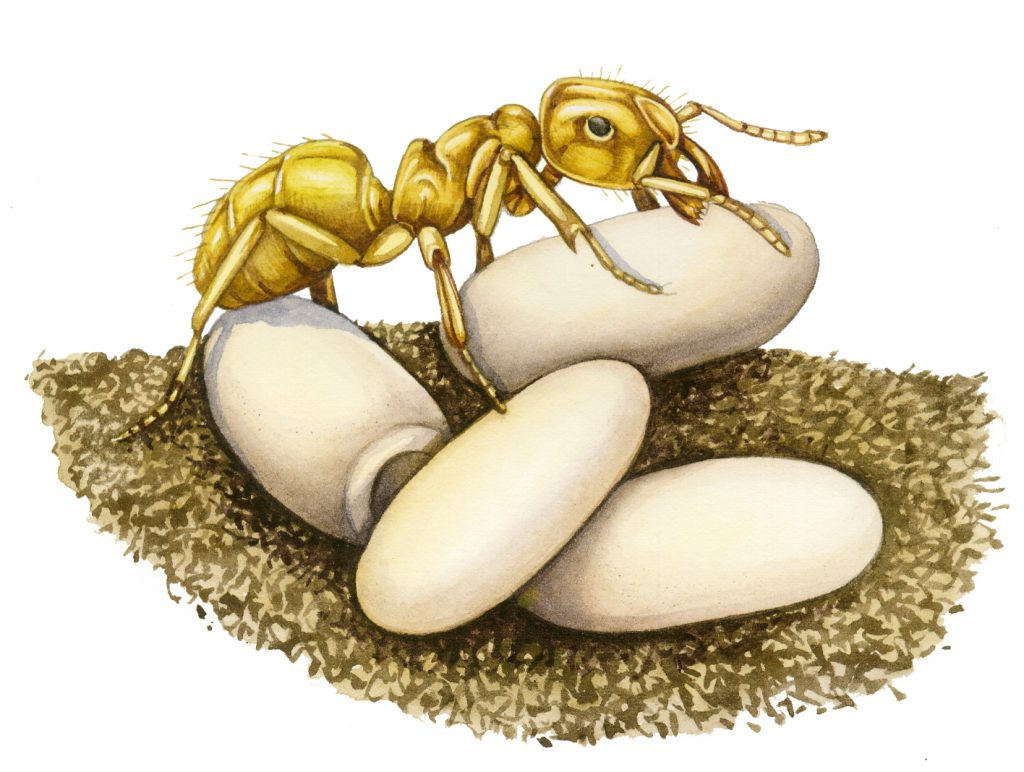 Yellow meadow ant Lasius flavus natural history illustration by Lizzie Harper