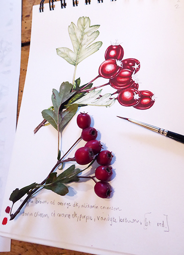 berries, hawthorn, craetegus monogyna, watercolour, watercolor, botanical illustration.