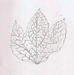 pencil leaf graphite line botanical illustration