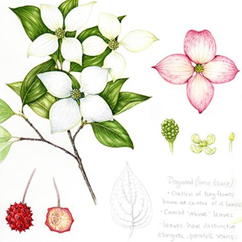 Cornus botanical illustration sketchbook by Lizzie Harper