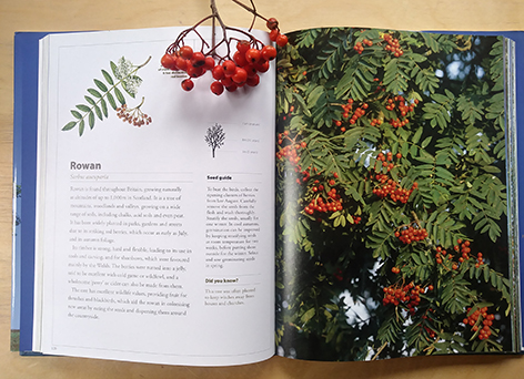 Watercoloour of Sorbus by Lizzie Harper, botanical illustrator