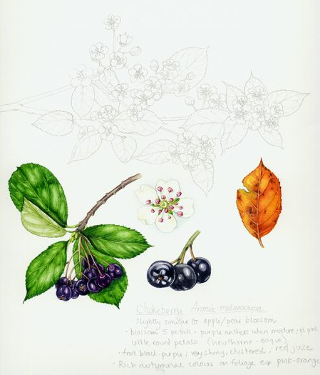 Botanical illustration study drawing and sketch of the choke berry
