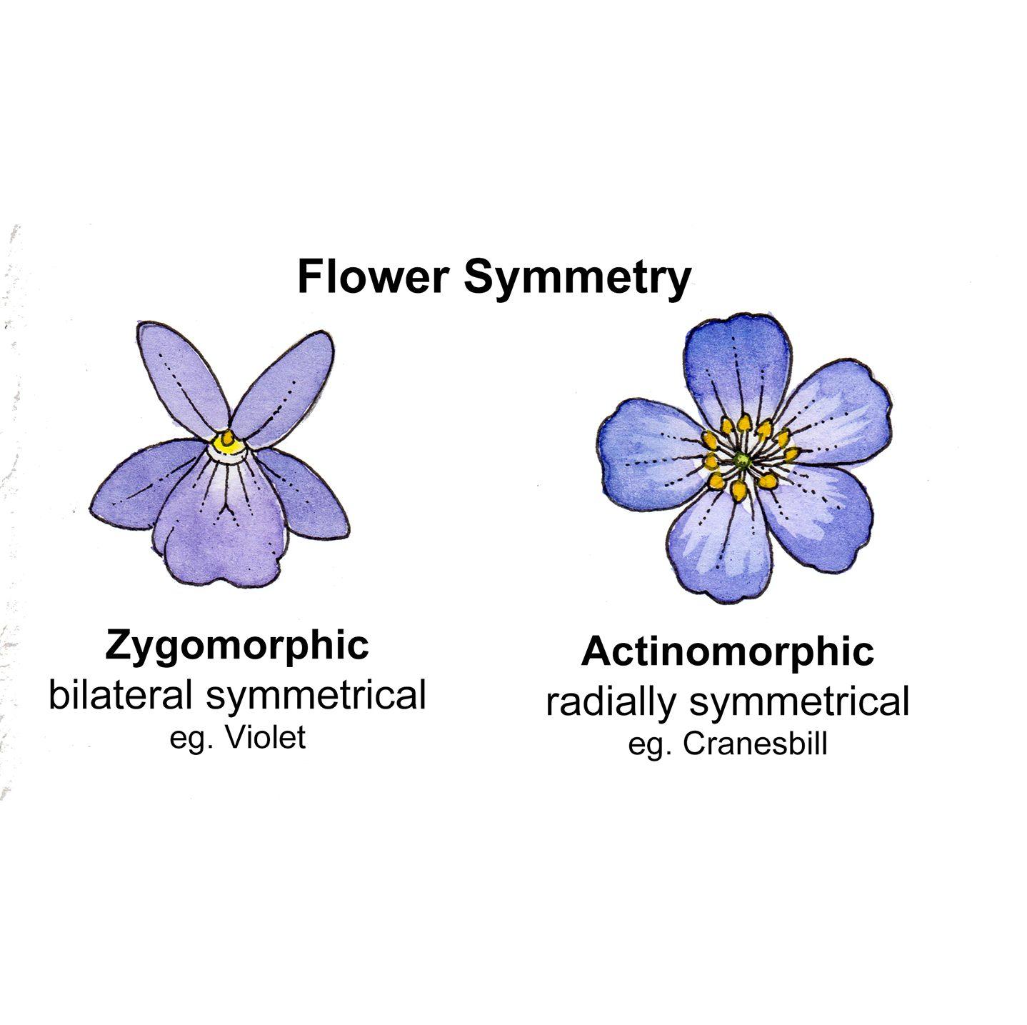 Flower shape terminology labelled diagram by Lizzie Harper ...