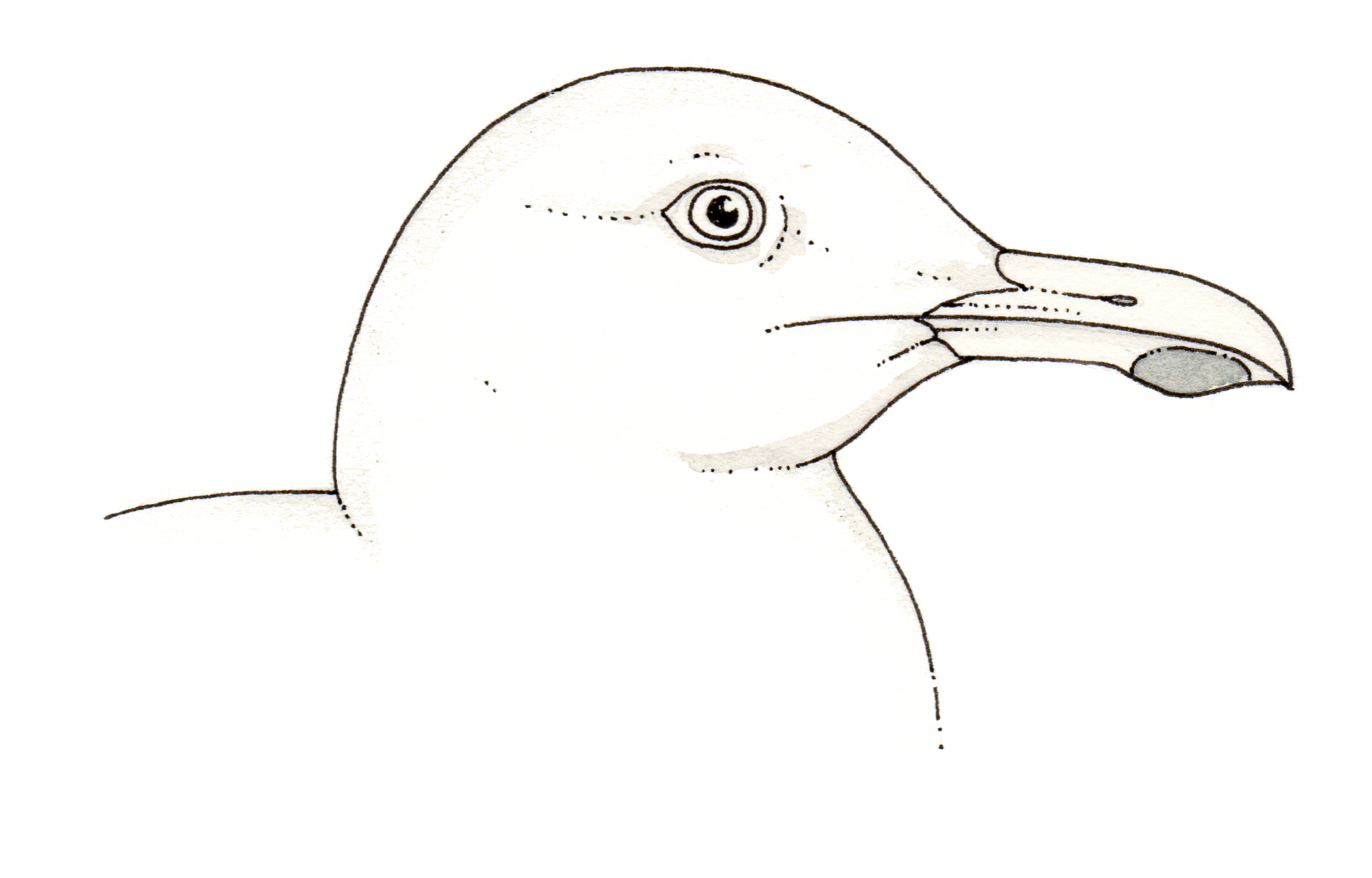 Natural History Illustration Of Gull Anatomy Manual Guide